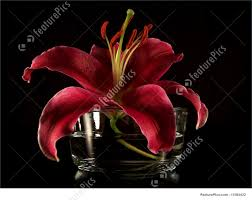 stargazer lilly stargazer stock picture i1384432 at featurepics