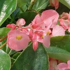 begonia flower wing pink angelwing begonia begonia hybrid proven