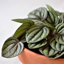 peperomia albovittata is an easy care houseplant indoorplant
