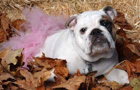 English Bulldog Halloween Costumes Photos Fabulous Halloween Costumes Pet
