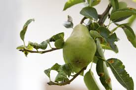why do pear tree leaves curl tips on pear tree leaf curl treatment