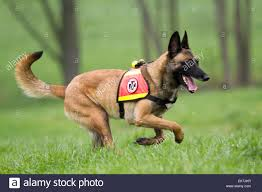 belgian shepherd or malinois belgian shepherd malinois dog working as search rescue dog
