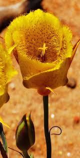 san diego county native plants san diego county native wildflowers