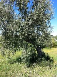 best 25 pruning olive trees ideas on box