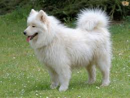 Magickalideas Com Samoyed Dog Breed Info Resourcesnetwork