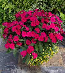 best flowering annuals for sun and shade annual flowers for sun