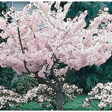 shop 3 25 gallon yoshino flowering cherry flowering tree l3234