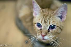 How Do People Get Blind Dealing With Upper Respiratory Infections In Cats Catster
