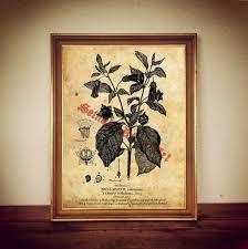 atropa belladonna deadly nightshade print poisonous plant poster
