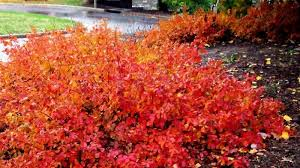 Fragrant Patio Plants - fragrant sumac plants for sale lowest prices online save 80 buy
