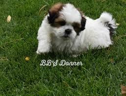 affenpinscher a donner 2016 adopts bb u0027s canine social club