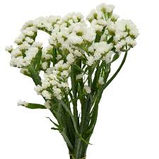 statice flowers statice white up flower catalog