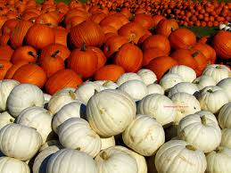 white pumpkins free farm images page 5