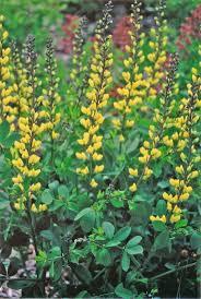 117 best perennials images on pinterest perennials flower