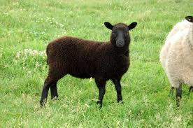 belgian sheepdog black crosswinds farm weaning time for lambies