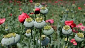 opium north carolina police stumble upon 500m opium producing operation