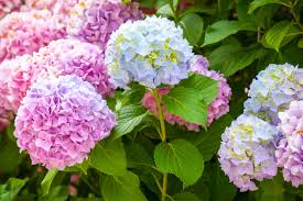 flower hydrangea change color of hydrangea bush how to make hydrangea change color