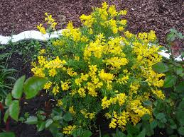 Identify Flowers - identification what is this yellow flowering mounded plant