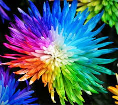real flowers aliexpress buy 100 real rainbow chrysanthemum flower seeds
