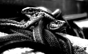 what does it mean when i dream about black snakes