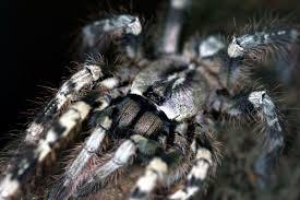 ghost ornamental tarantula pet stop sa