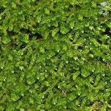 wild christmas moss in loose form by luffy lush green moss