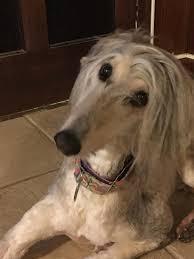 afghan hound adoption florida adopted afghan hound club of america u2013 national rescue