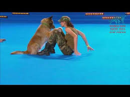 belgian shepherd youtube belgian shepherd demonstrates cpr during world dog show