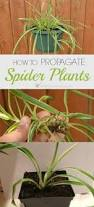 the 25 best spider plants ideas on pinterest indoor house