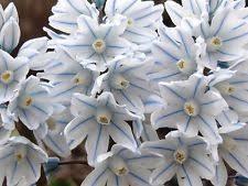 snowdrops plants seeds bulbs ebay