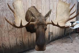 Moose Head Decor Mounted Moose Head For Moose Head Mounted Moose Head Td2348 2 499