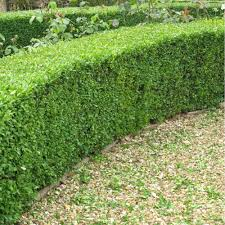 native hedging plants buxus sempervirens common box plants buy box plants