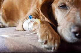in dogs symptoms causes diagnosis treatment recovery