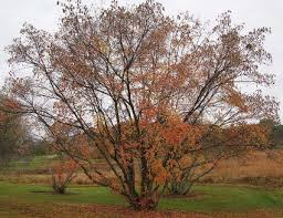 brown tree get to a variety of maple tree species