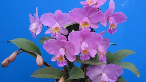 cattleya orchids easy steps to grow cattleya orchid plants bright light plants