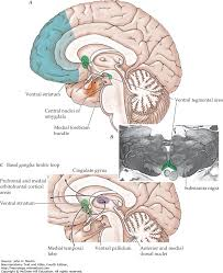 Anterior Association Area The Limbic System And Cerebral Circuits For Reward Emotions And