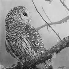 barred owl drawing by tim dangaran