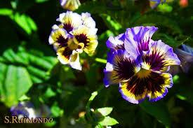 purple yellow tiger flowers by warriorqueen2005 on deviantart