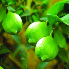 fruit trees plants edible garden the home depot 1 5 year old larger lime tree in nursery pot