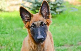 belgian shepherd nz belgian malinois puppies breed information u0026 puppies for sale