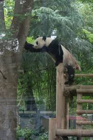 3215 best pandas images on pinterest giant pandas animals and kung fu panda panda bears the pandas wall mural knock knock beautiful creatures animal kingdom grandkids wildlife