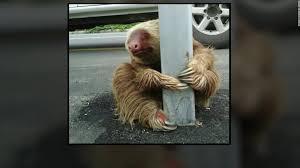Sloth Fitness Meme - officer helps sloth cross the road cnn