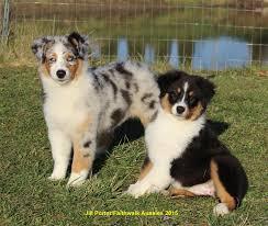 raising an australian shepherd faithwalk aussies important puppy info