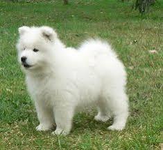 pics of american eskimo dogs american eskimo dog cute pinterest american eskimo dog