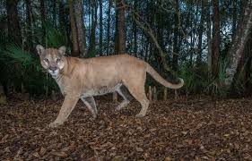 Florida Wildlife images Path of the panther jpg
