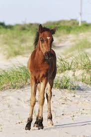 mustang horse bob u0027s wild horse tours corolla nc