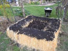 jeffco gardener straw bales garden by duane davidson