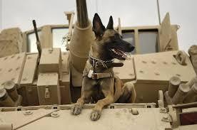belgian shepherd for sale south africa dogs in warfare wikipedia