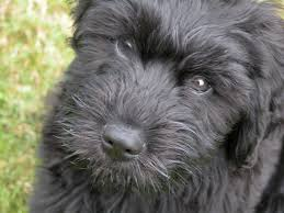 affenpinscher loyalty briard hd desktop wallpapers 7wallpapers net