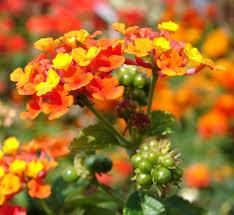 flowers and fruits file lantana camara flowers and fruits jpg wikimedia commons